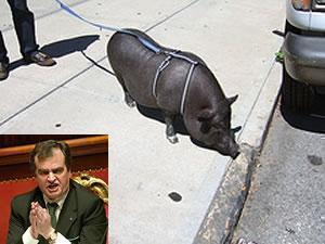 Сенатор Роберто Кальдероли грозится прийти в мечеть вместе со своей свиньей.