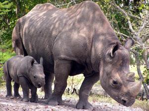 ООН: носорог Кофи Аннан проведет еще много лет на свободе