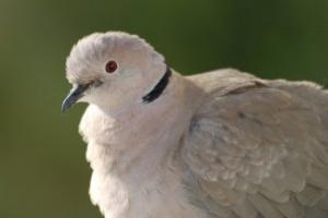 Ислам и голуби