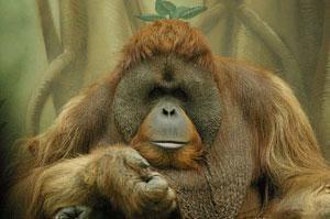 Умер самый известный в мире орангутанг