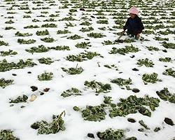 Замерзшие виноградники страны