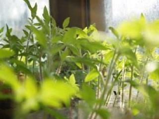 В Иране бывшие курильщики выращивают зелень в пепельницах