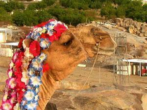 Конкурс «Мисс-верблюд 2008»: в Саудовской Аравии награждают горбатых красавиц
