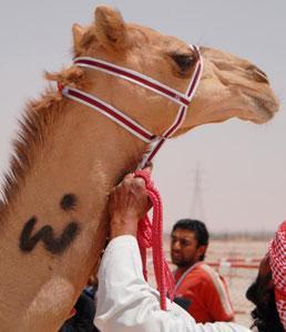 В ОАЭ выберут самого красивого верблюда