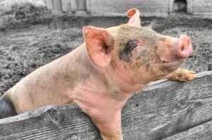 Работники свинофермы заразились неизвестной болезнью