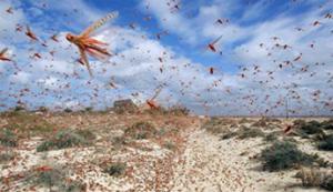 Стаи саранчи уничтожают всю растительность на своем пути