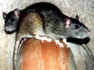 Палестинцы обвинили израильтян в травле арабов крысами