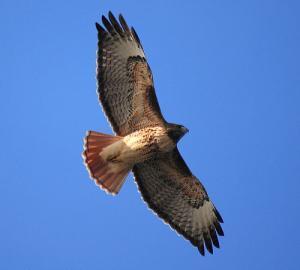 На Ближнем Востоке особенно ценится балобан как ловчая птица.
