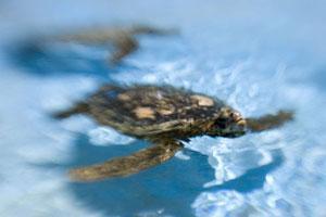 Черепахи покидают Дубаи