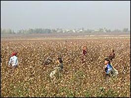 Несмотря на правительственный указ, детей снова эксплуатируют на сборе урожая хлопка
