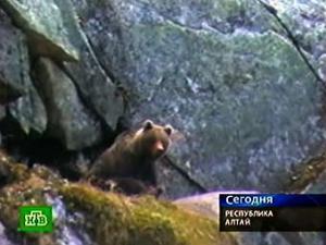 На Алтае введен комендантский час из-за нашествия медведей