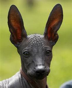 """В США выбирают """"первую собаку"""" Америки:  лидирует перуанка Мачу-Пикчу"""