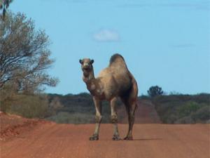 Жителям Австралии советуют съесть расплодившихся верблюдов и кенгуру