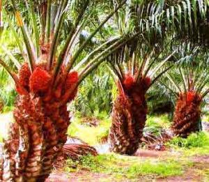 Татарстан и Малайзия договорились создать совместное предприятие по переработке пальмового масла