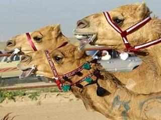 Украинские таможенники освободили калмыцких верблюдов