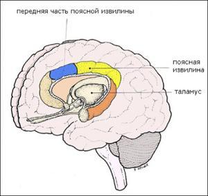Расположение передней части поясной извилины