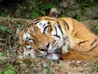 Россия поможет вернуть тигров в Иран и Центральную Азию