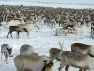 Халяльная оленина – новая экспортная статья России