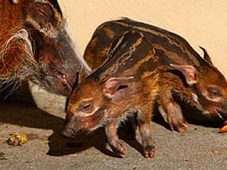 Подозрения возникли после падежа кистеухой свиньи