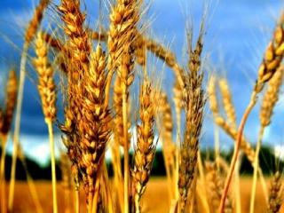 Российская пшеница поедет в Саудовскую Аравию