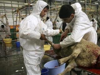 Мусульманам предложат оглушать жертвенных животных