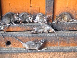 Израильскую армию атакуют крысы