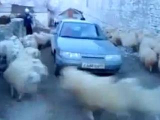 Несмотря на рёв мотора, неуёмные овцы продолжают бешено крутить хоровод вокруг машины