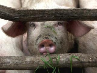 Пензенским татарам подложили свинью