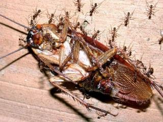 Американский поедатель тараканов победил и умер
