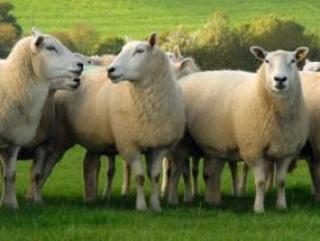 С 1 января 2013 года в Евросоюзе встпает в силу закон, разрешающий ритуальный убой скота