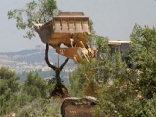 Израильтяне уничтожили палестинские плантации на Западном берегу