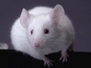 Спецслужбы берут на вооружение мышей