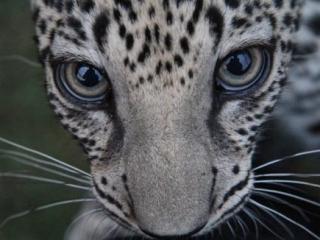 Гигантский забор между Оманом и Йеменом погубит редких леопардов
