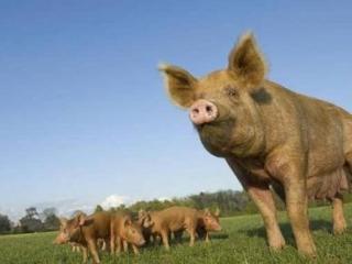 Односельчане выживают крымских татар с помощью свиней