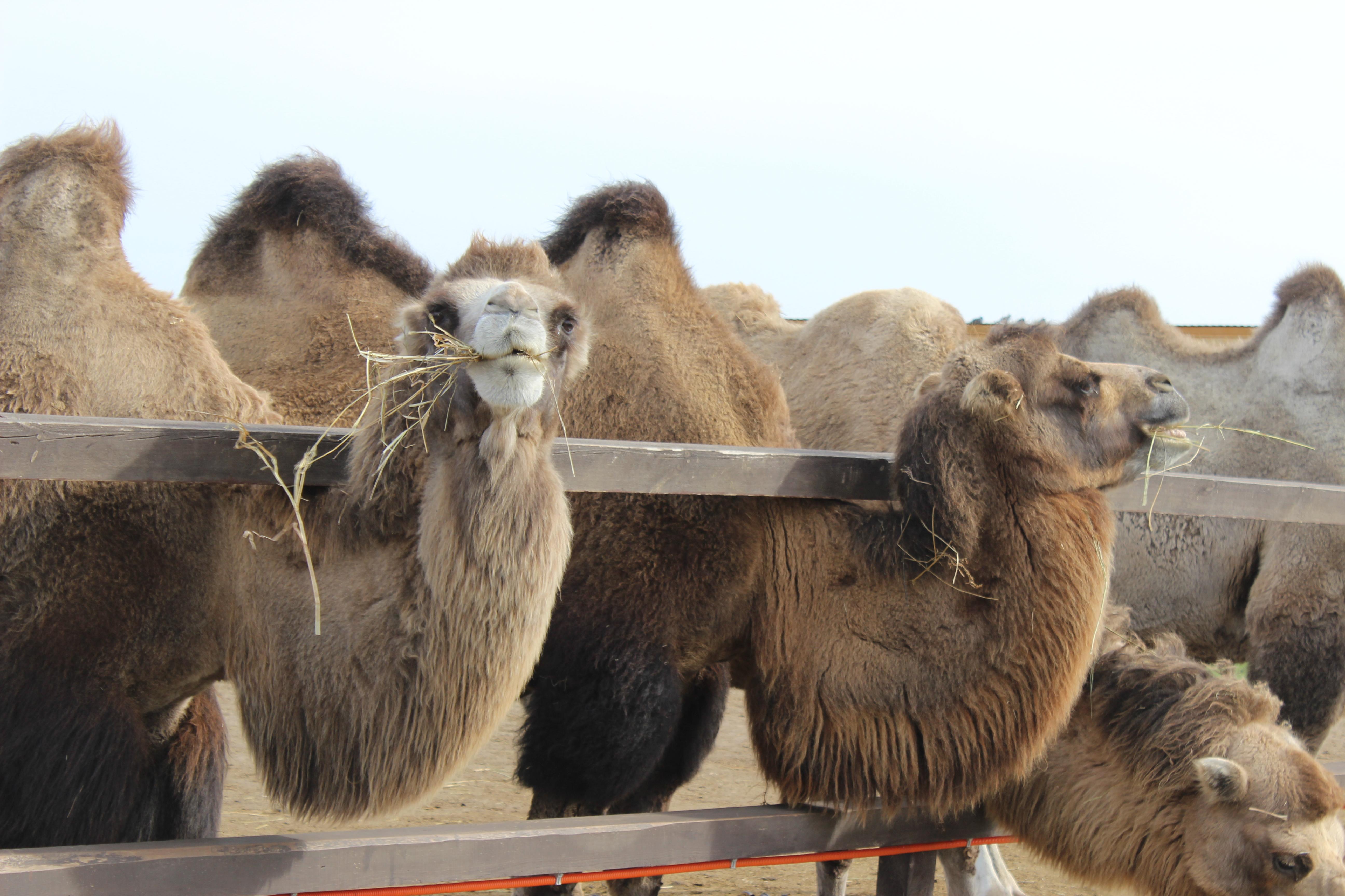 Муфтият решил накормить нуждающихся верблюжатиной