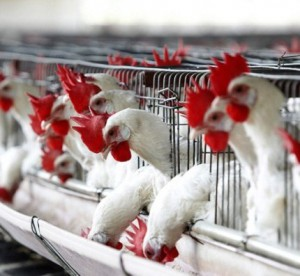Турция увеличила поставки курятины в Россию в 120 раз