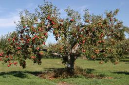 Яблоко, изменившее судьбу юноши