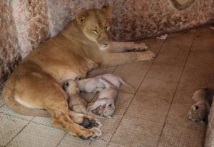 Пакистанец завел в своем доме 9 львов