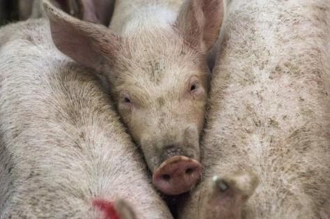 Почему россияне перестали есть свинину?
