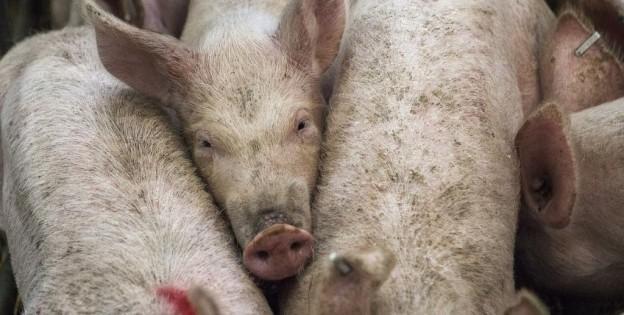 Россияне отказываются от свинины в пользу индейки и других нетрадиционных видов птицы