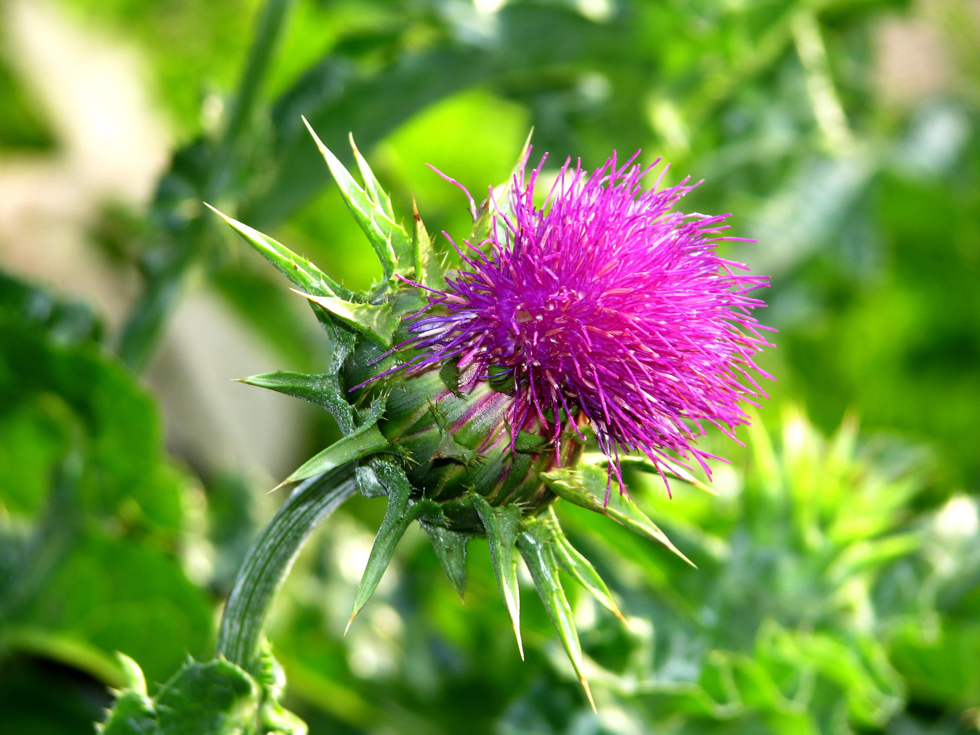 Удивительная польза семян расторопши