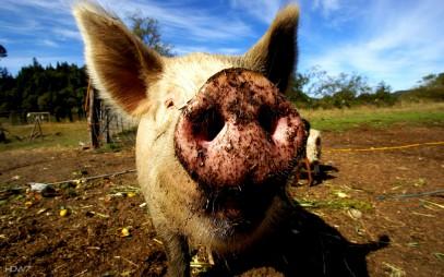 В Татарстане мусульмане выступили против строительства свинарника