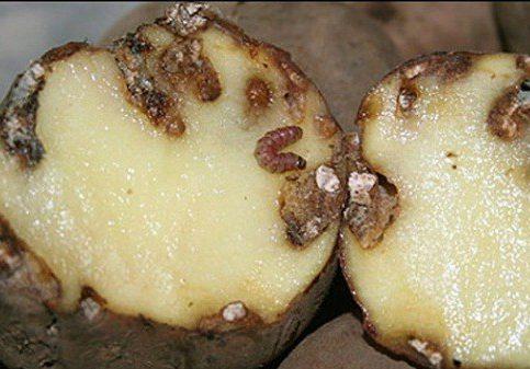 Израиль пытался ввести в Россию зараженный картофель