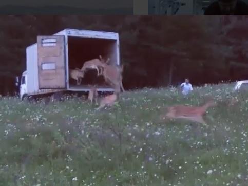 В леса Беноя выпустили десятки животных