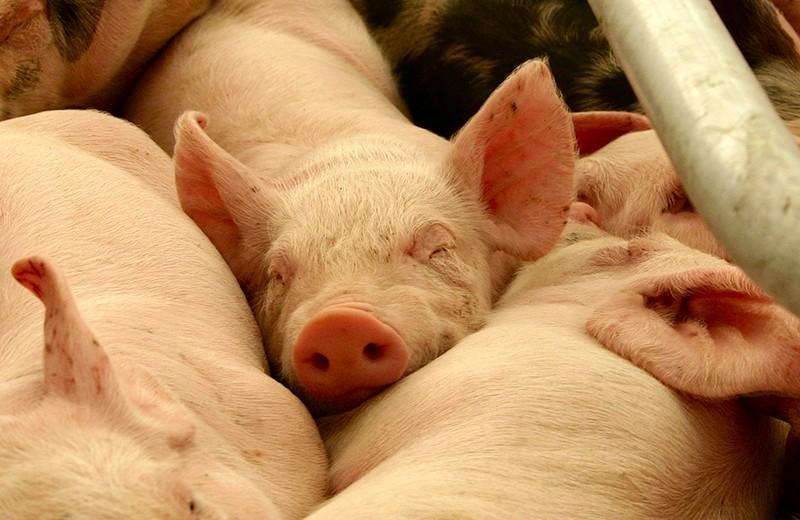 Свинина запрещена к употреблению в исламе