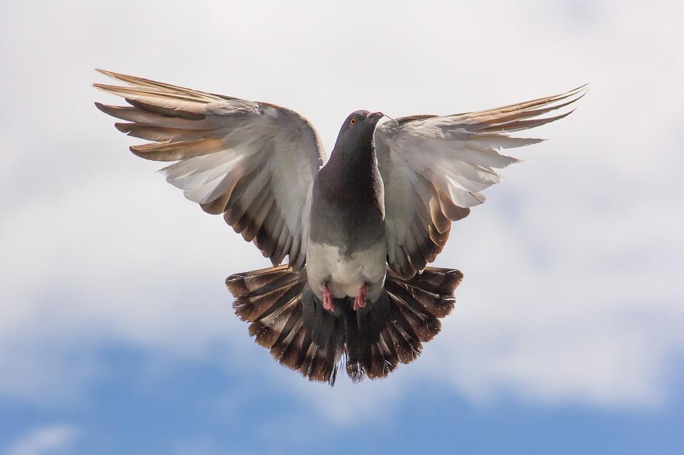 Николаевские голуби: история происхождения и особенности разведения