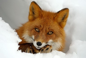 В Башкортостане произошел курьёз с участием лисы и рыбаков (ВИДЕО)