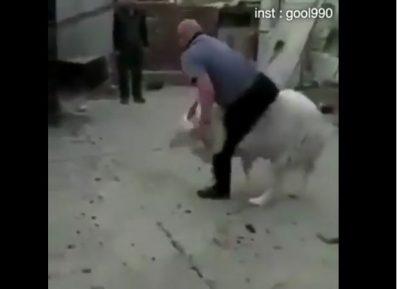 Гордый баран жестоко проучил хозяина за неуважение к своей персоне (ВИДЕО)