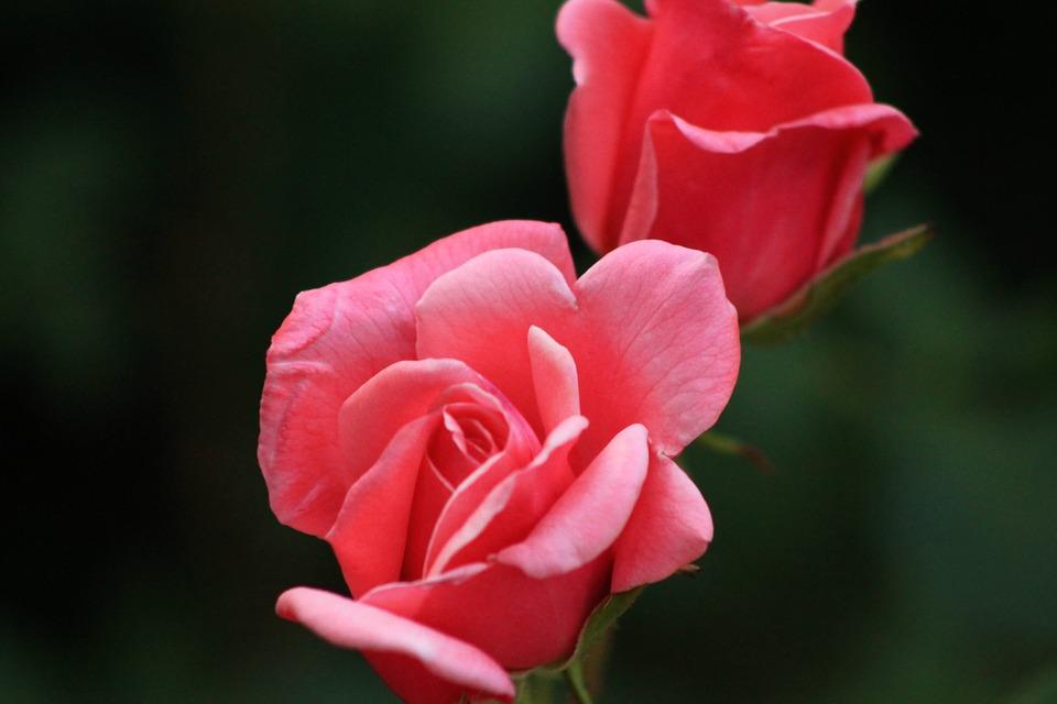 Классика и экзотика роз. Статья, от которой хочется купить розы в Киеве.