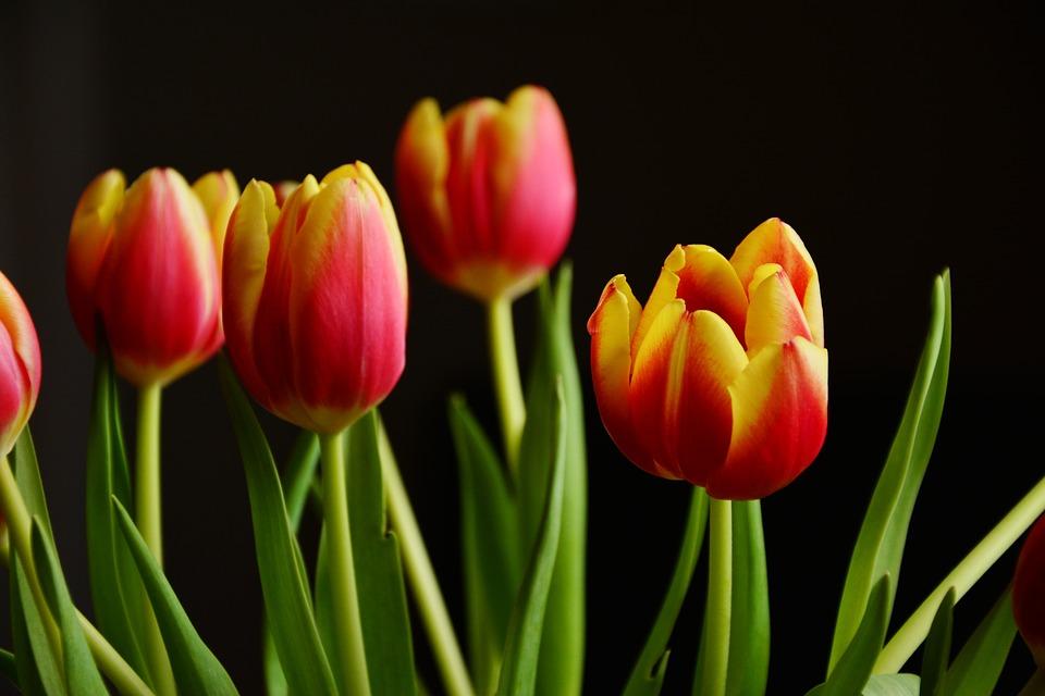 Преимущества закупки тюльпанов оптом